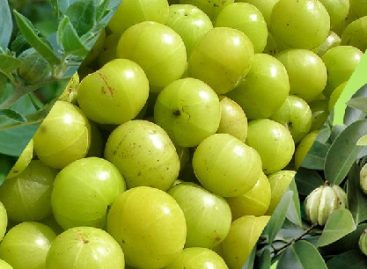 Garcinia cambogia is a Weight Loss Supplement that is Extracted from the Same Fruit
